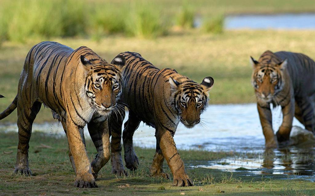 Tiger Safari Ranthambhore